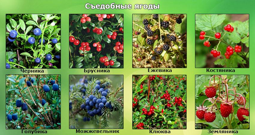 Растения съедобные и несъедобные доклад 9496