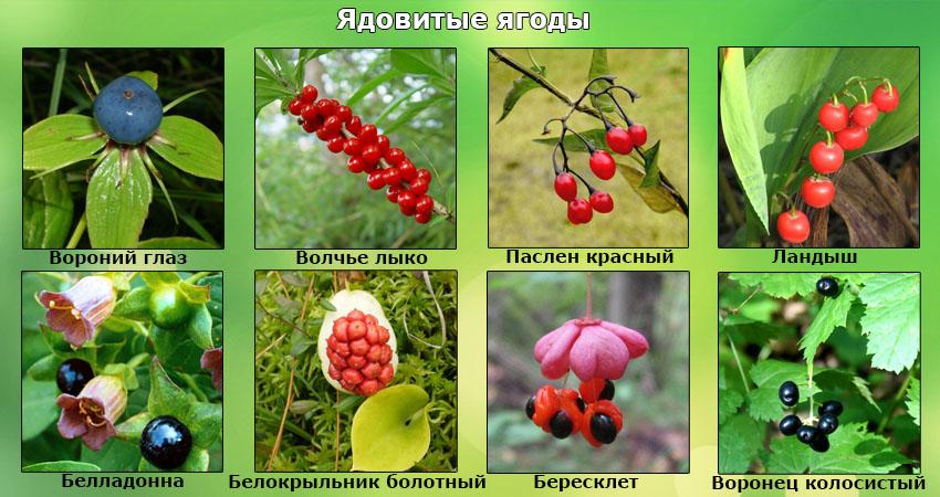 Реферат на тему съедобные растения 2281